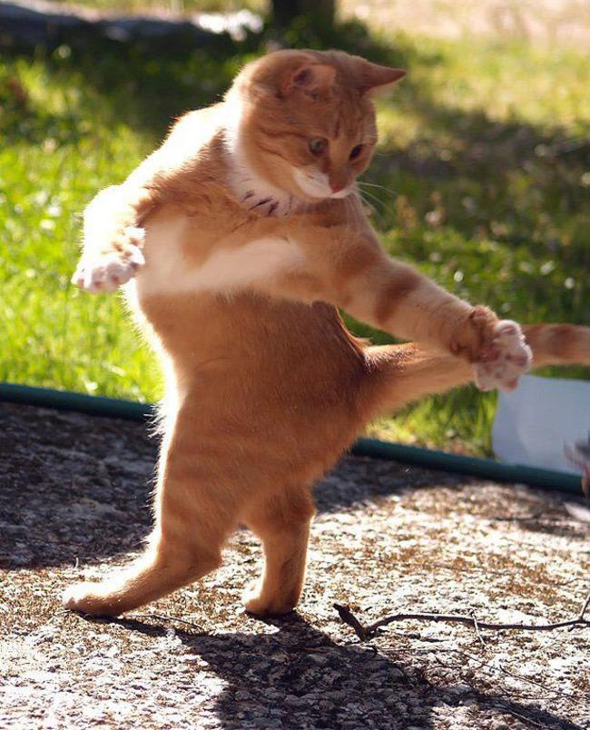 قطة راقصة
