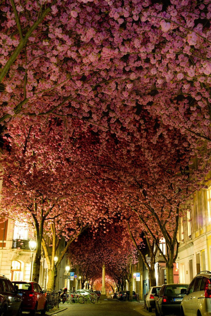 Cherry Trees In Germany