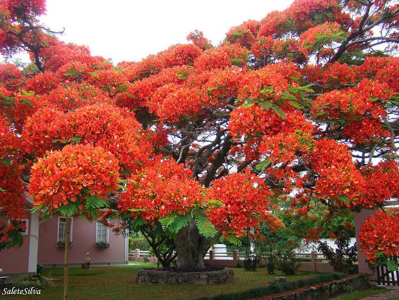 Flamboyant Tree in Brazil