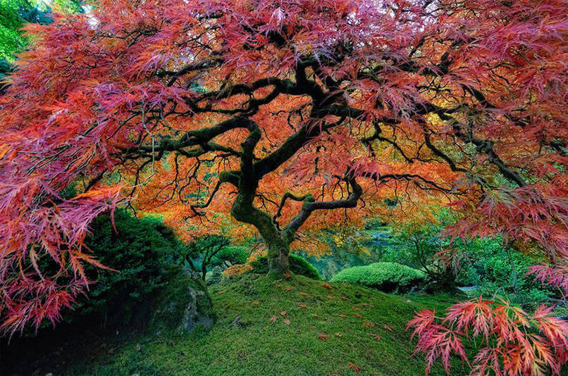 Japanese Maple In Oregon