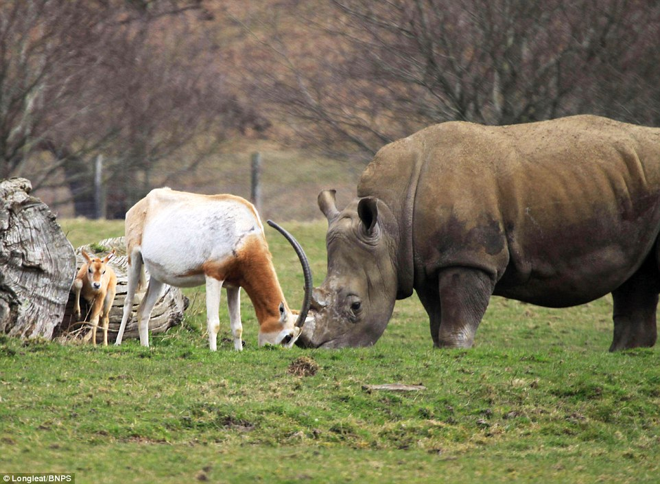 mother antelope clashed horns with a three-tonne rhino 3