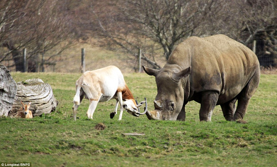 mother antelope clashed horns with a three-tonne rhino 4