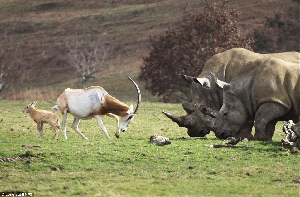 mother antelope clashed horns with a three-tonne rhino 5