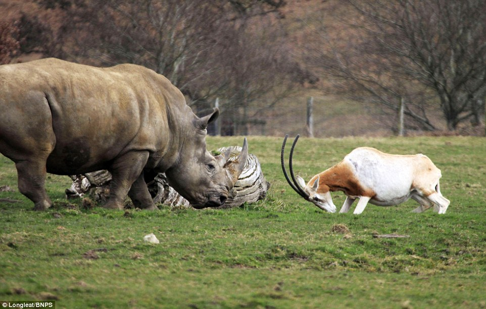 mother antelope clashed horns with a three-tonne rhino 6