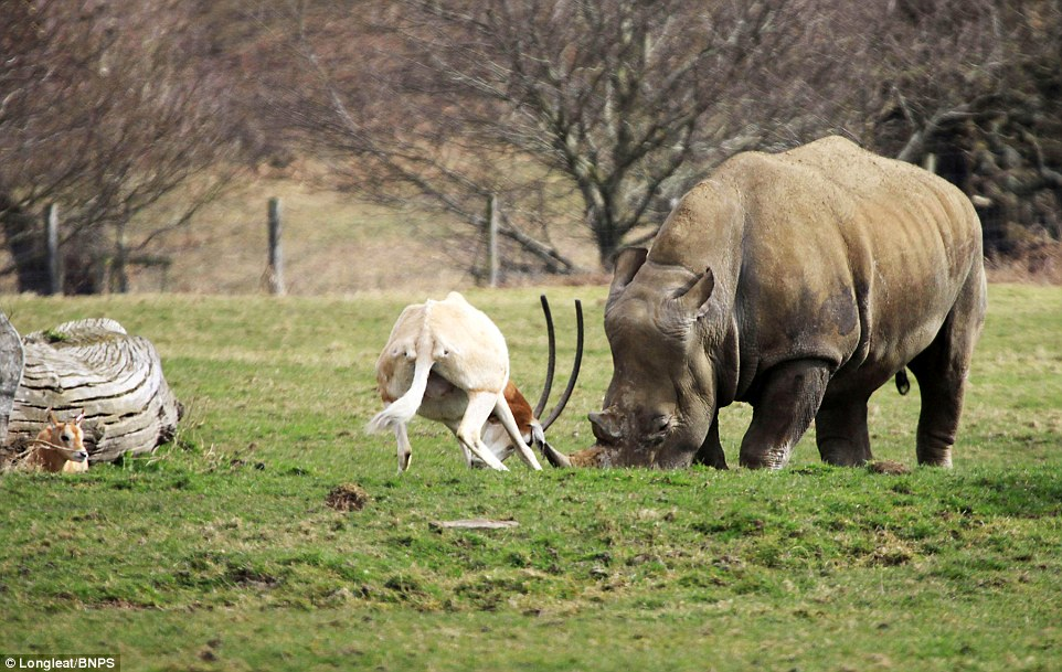 mother antelope clashed horns with rhino 2