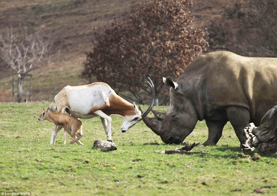 mother antelope clashed horns with rhino