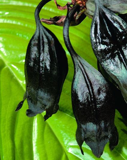أزهار تشبه الخفافيش