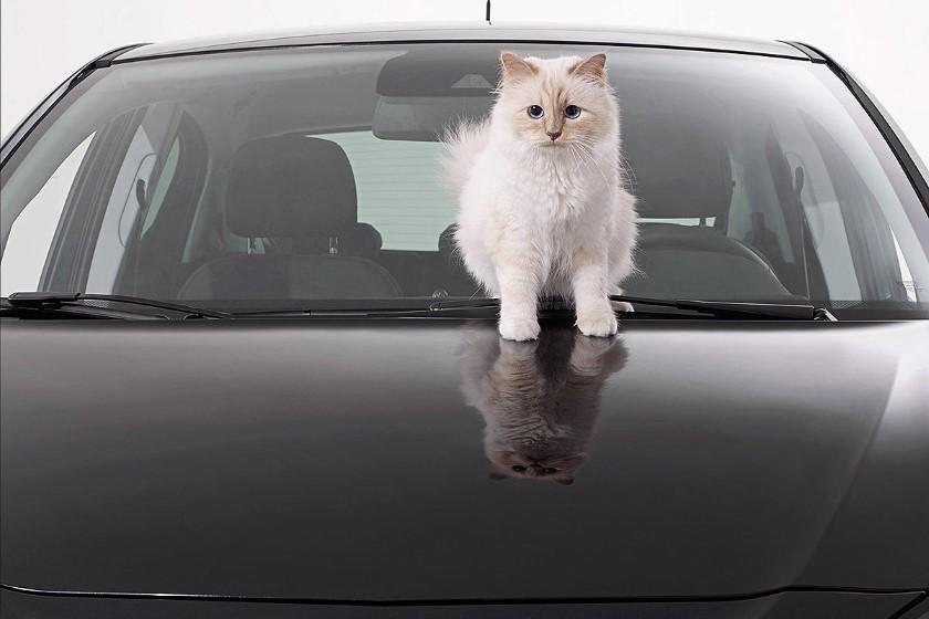 القط-كارل-1