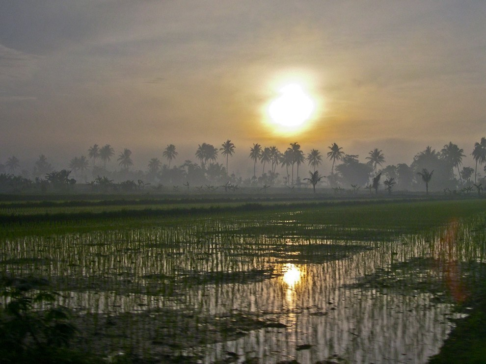 حقول الأرز 2