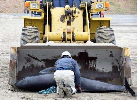 حيتان تنتحر على شواطئ اليابان2