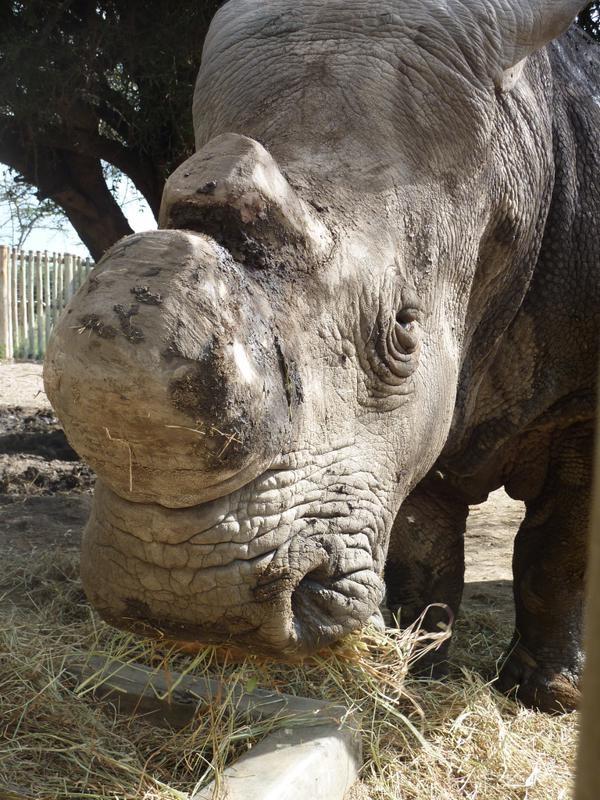 آخر ذكر حيوان وحيد القرن