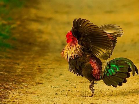طير البري