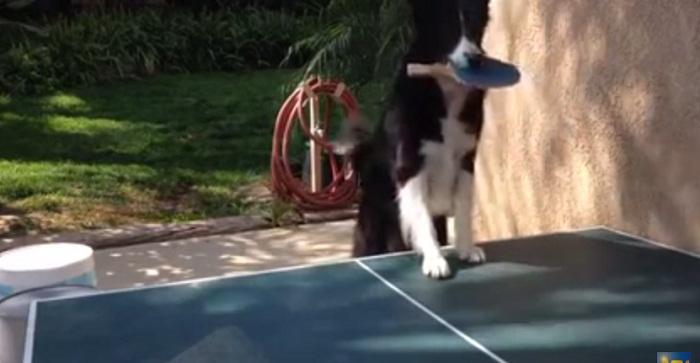 فيديو كلب-يلعب-تنس-طاولة