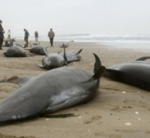 Beached Whales may indicate to earthquake