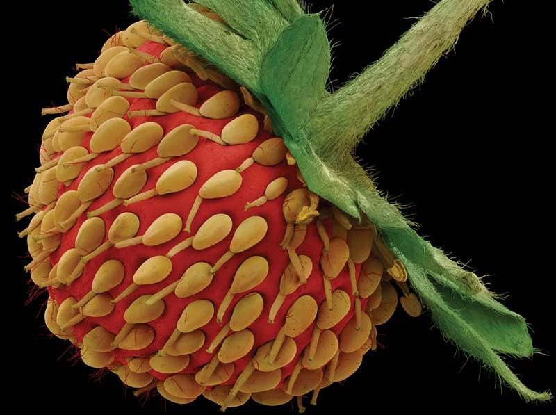 صورة الفراولة ضمن صور الفواكه