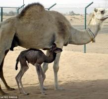 camelinjaz