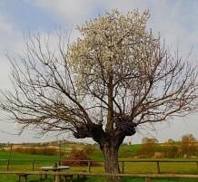شجرة نمت في وسط شجرة أخرى