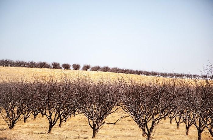 جفاف أشجار اللوز