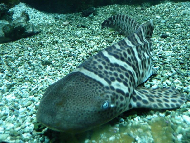 سمكة قرش الحمار الوحشي