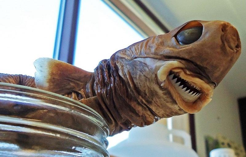 سمكة القرش القاطعة