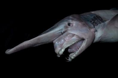 سمكة القرش العفريت