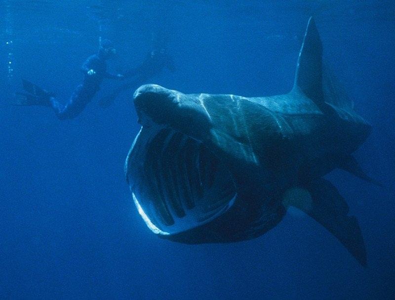 القرش ذو الفم الكبير
