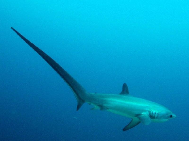 القرش الدراس