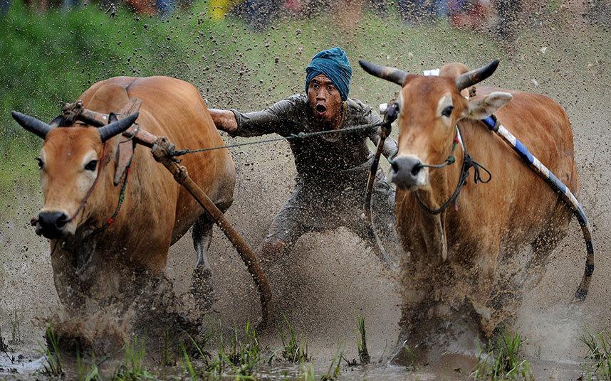 فارس يحفز البقر للركض خلال سباق البقر التقليدي