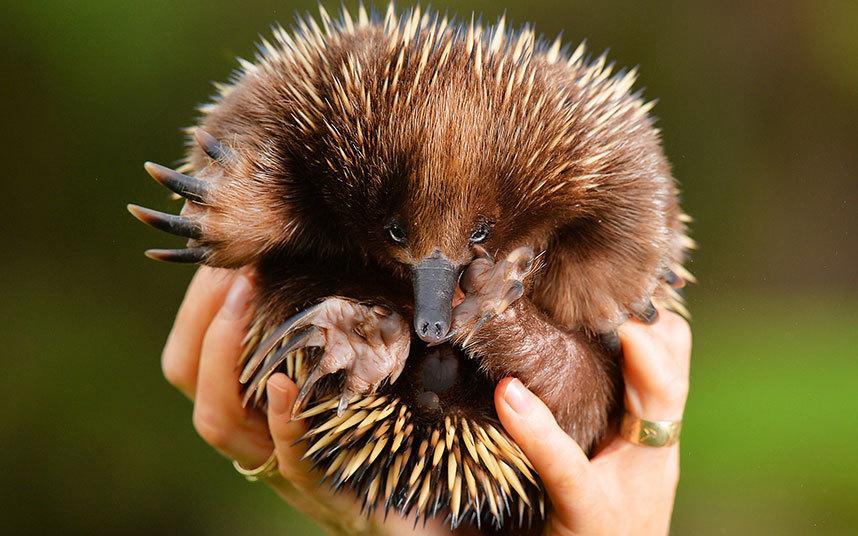 قنفذ صغير حديث الولادة في ولاية فيكتوريا بأستراليا.