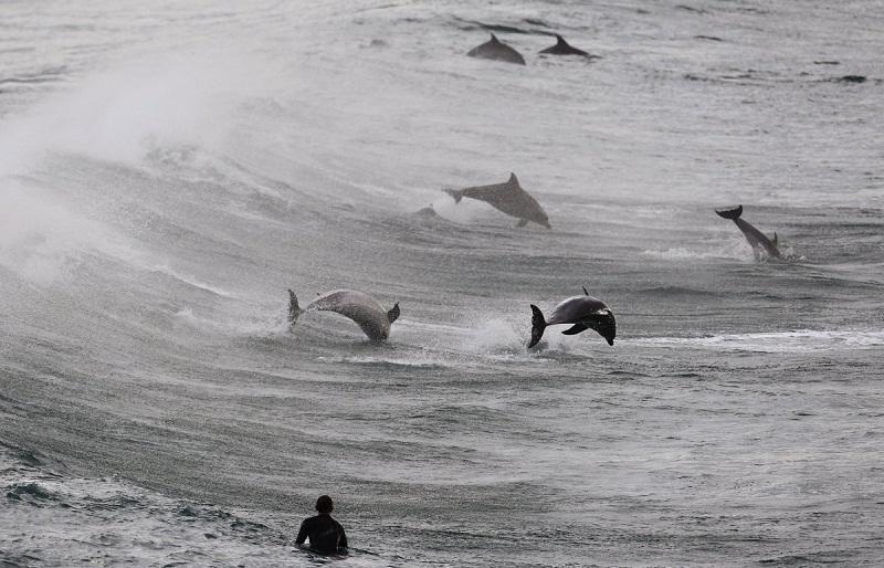 الدلافين تلعب في مياه شاطئ بوندي