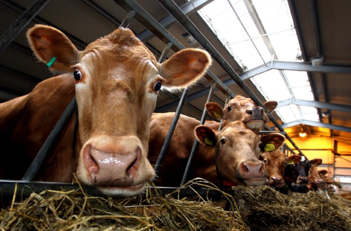 صناعة الشامبو من بول البقر