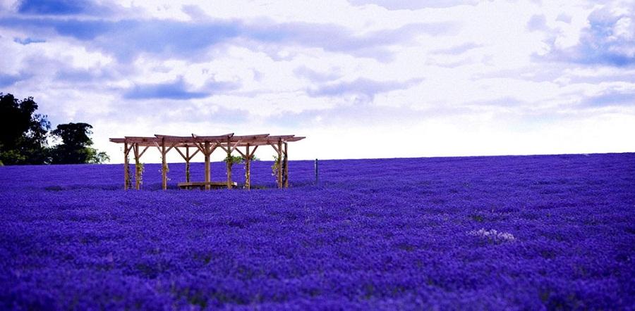 الأماكن الطبيعية حقول الخزامى في فرنسا