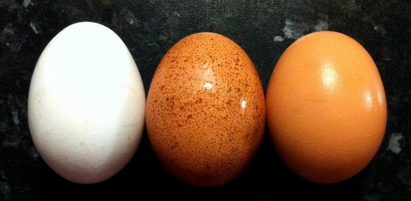 لون قشرة البيض