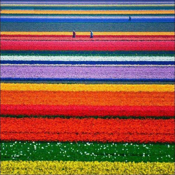 صور منوعة حقول الورود الطبيعية في هولندا