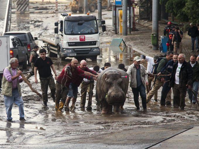 صور حول العالم مدنيون يقومون بمساعدة حيوان فرس النهر على السير