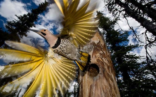 صورة مذهلة لطائر نقار الخشب