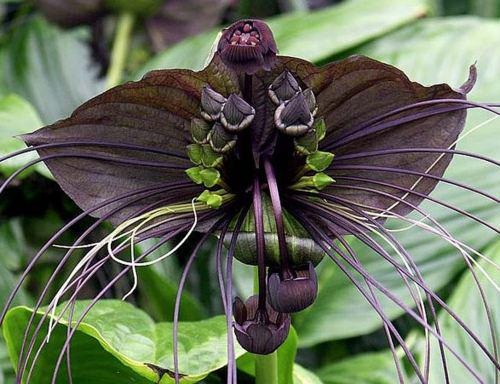 زهرة الخفاش الأسود، إسم على مسمى.