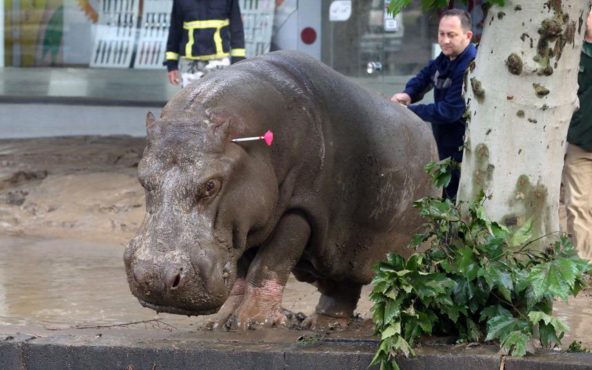 صور حول العالم إطلاق طلقات مخدرة على حيوان فرس النهر الذي هرب من حديقة الحيوانات في تبليسي