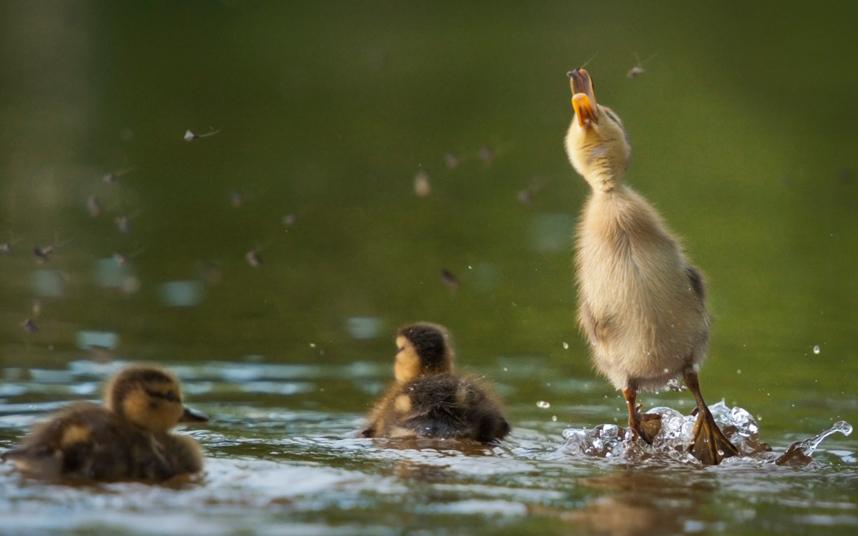 صور حول العالم صورة مذهلة لبطة صغيرة تقفز من المياه لالتقاط الذباب والتغذي عليه في ولاية ماساتشوستس الأمريكية.