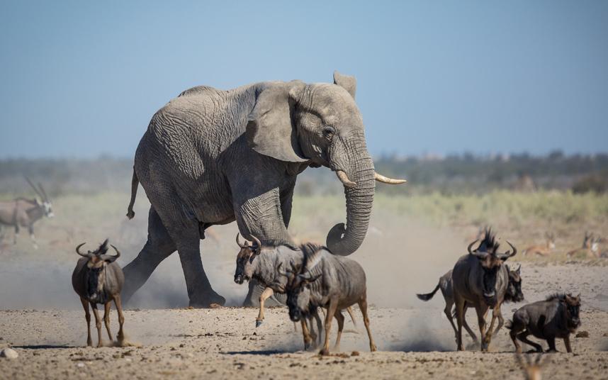 """فيل هائج في حفرة للري بالحديقة الوطنية """"أتوشا"""" في ناميبيا."""