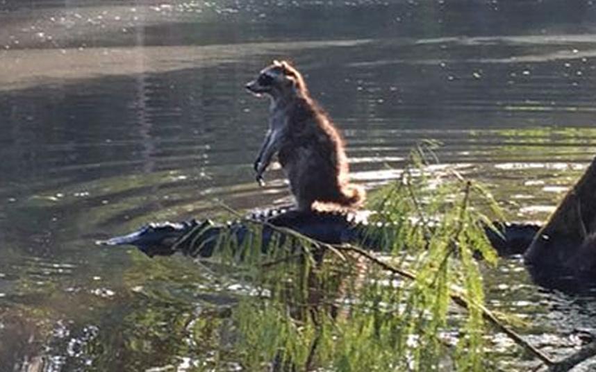صور حول العالم حيوان الراكون الذي امتطى ظهر تمساح فتاك في غابات أوكالا الوطنية بولاية فلوريدا.