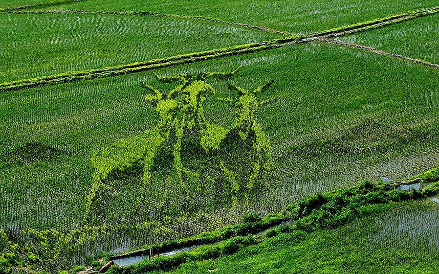 مزارعون محليون يستعملون شتلات أرز مختلفة في اللون وشجيرات أخرى لتشكيل لوحة فنية وسط حقول الأرز