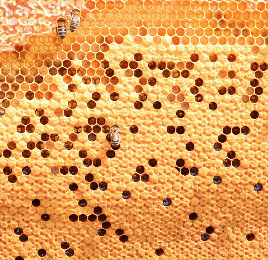 نحل العسل 1