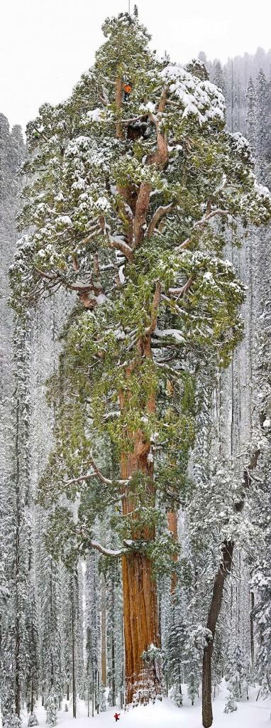 شجرة سيكويا