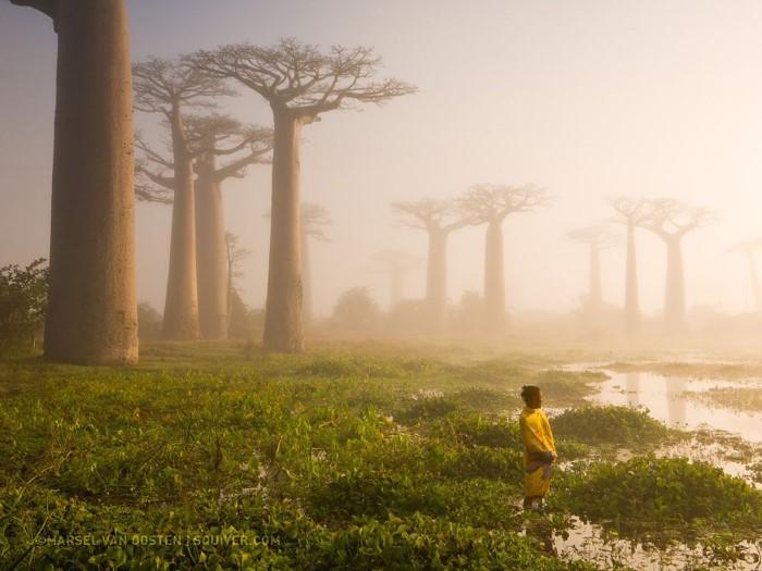 أشجار باوباب