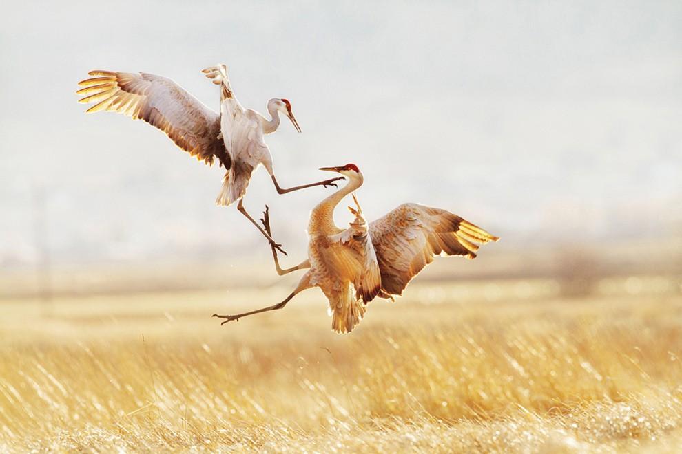 قتال بين الطيور