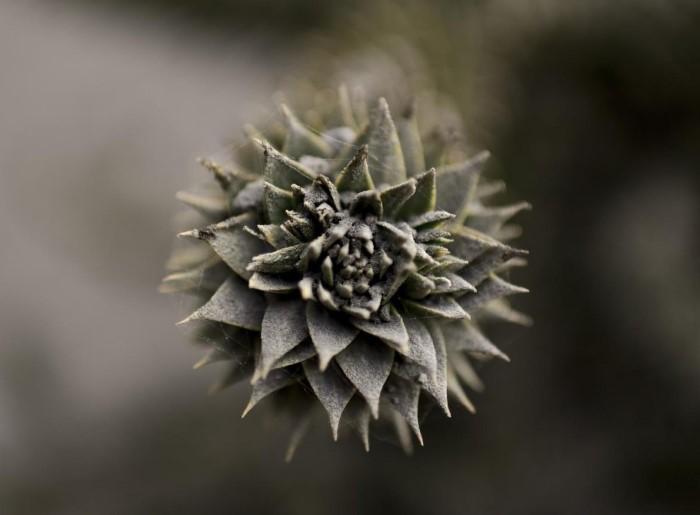 رماد بركان كالبوكو غطى النبات في إنسينادا في جنوب شيلي