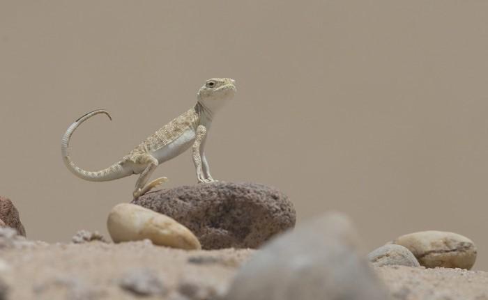 حرباء الصحراء في الكويت