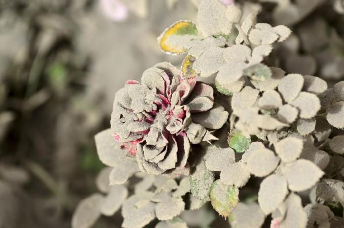 رماد بركان كالبوكو يتناثر على الزهور،