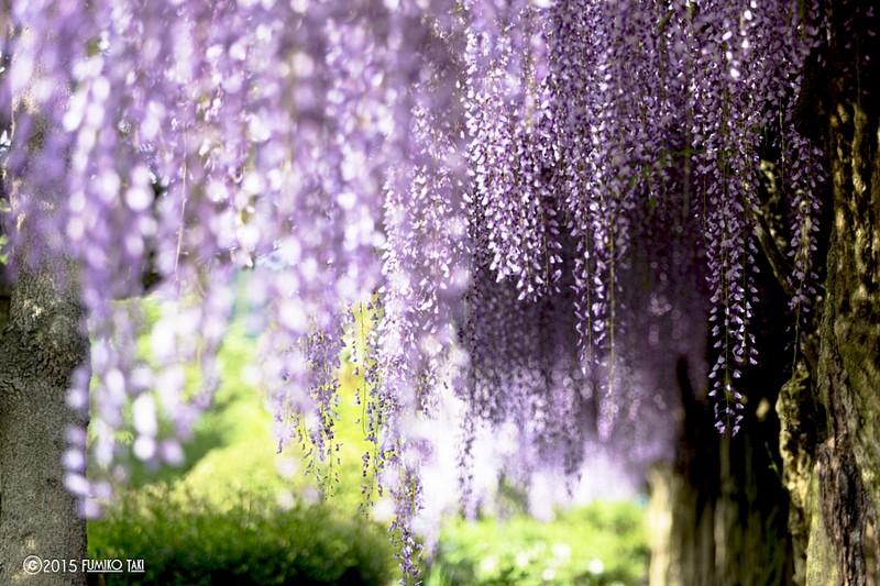 شجرة جميلة في اليابان